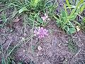 Allium Drummondii.jpg