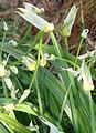 Allium paradoxum 3.jpg