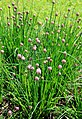 Allium schoenoprasum Prague 2014 2.jpg