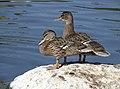 Almost fledged mallards (48685754532).jpg