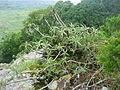 Aloe arborescens - Ponduine 1 (10240702064).jpg
