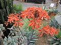Aloe flowers (7161399072).jpg