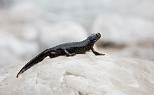 The Alpine newt stands on a rocky surface.