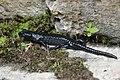 Alpine salamander - Salamandra atra (43897219634).jpg