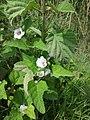 Althaea officinalis sl68.jpg