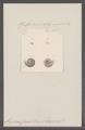 Alycaeus caroli - - Print - Iconographia Zoologica - Special Collections University of Amsterdam - UBAINV0274 091 06 0008.tif