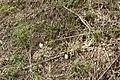 Amanita hemibapha 23.jpg