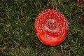 Amanita muscaria (29791637950).jpg