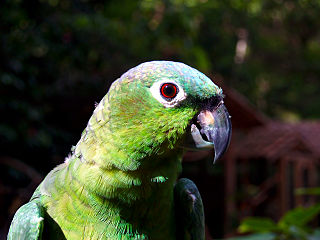 Northern mealy amazon species of bird