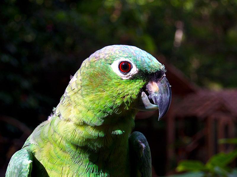File:Amazona farinosa -Macaw Mountain Bird Park-8b.jpg