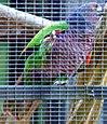Amazona imperialis -Roseau -Dominica -aviary-6a-3c
