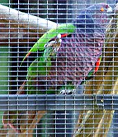 Photo of a mainly violet and green parrot in a cage
