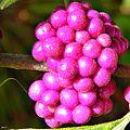 American Beautyberry (Callicarpa americana) (7905062584).jpg