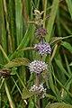 American Cornmint (Mentha canadensis) - Waterloo, Ontario.jpg