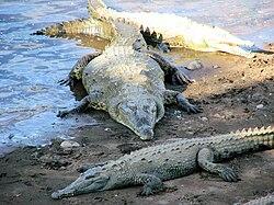 American Crocodile, Costa Rica.jpg