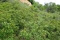 Amorpha fruticosa kz04.jpg