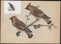 Ampelis phoenicoptera - 1833-1850 - Print - Iconographia Zoologica - Special Collections University of Amsterdam - UBA01 IZ16600017.tif