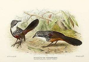 White-throated grasswren - Image: Amytornis woodwardi