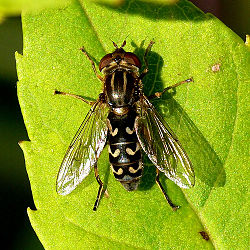 Midjedamblomsterflue (Anasimyia contracta)