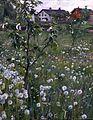 Anders Zorn - Dandelions.jpg