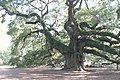 Angle Oak Tree - Flickr - Bruce Tuten.jpg