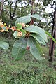 Anogeissus latifolia - Axle Wood Tree - at Begur 2014 (4).jpg