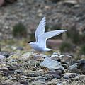 Antarctic Tern at St. Andrews Bay, South Georgia (5817253702).jpg