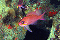 Anthias anthias Stefano Guerrieri1.jpg