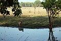 Antilopine Kangaroo Kakadu.jpg