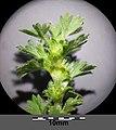 Aphanes arvensis sl16.jpg