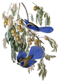 Aphelocoma coerulescens & Diospyros virginiana (Audibon).png