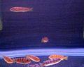 Aquarium fish16.JPG