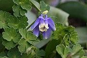 Aquilegia flabellata1