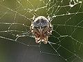 Araña 01 - Spider - Aranya (Araneus cf. angulatus) (4958597440).jpg