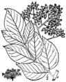 Aralia spinosa BB-1913.png