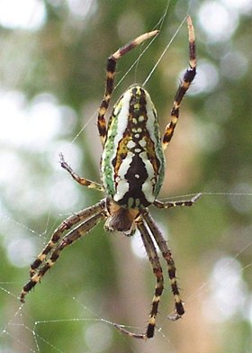 Araneus bradleyi - 17mm body length - 35mm entire length.jpg