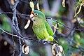 Aratinga canicularis -Costa Rica-8-2.JPG