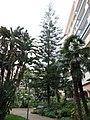 Araucaria excelsa au square des États-Unis à Menton.jpg