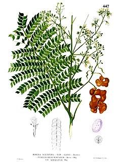 <i>Archidendron</i> genus of plants