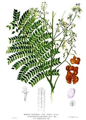 Archidendron - Archidendron scutiferum