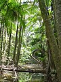 Archontophoenix myolensis at Warril Creek, Myola, Atherton Tableland.jpg