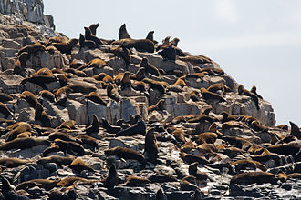 Brown fur seal - Brown fur seal colony at Friar Islands, Tasmania