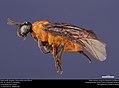 Argid sawfly (Argidae, Sphacophilus apios (Ross)) (36825167904).jpg