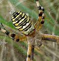 Argiope bruennichi. Female - Flickr - gailhampshire (2).jpg