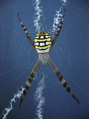 Description de l'image Argiope picta.JPG.