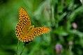 Argynnis paphia (36568572955).jpg