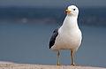 Armenian Gull standing near Sevanavank.jpg