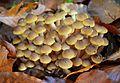 Armillaria mellea Sochi 14112015.JPG