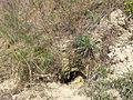 Artemisia campestris sl6.jpg