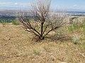 Artemisia dracunculus (post burn sagebrush steppe) (9764945835).jpg